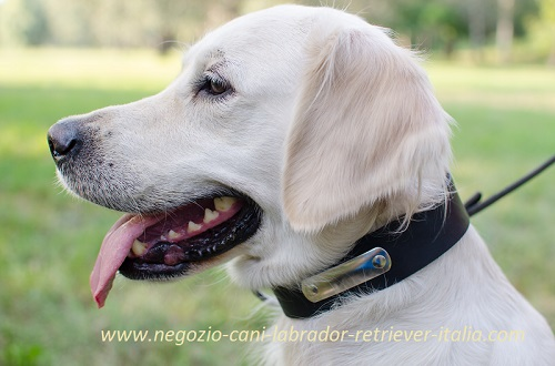 Golden Retriever con collare in pelle con targhetta