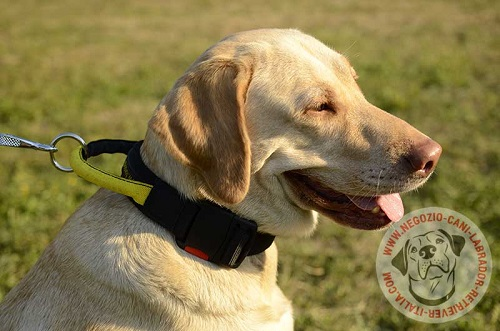 Collare in nylon con comoda maniglia indossato da Labrador Retriever